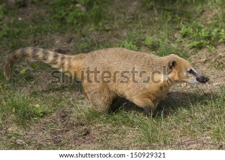 brown-nosed Coati