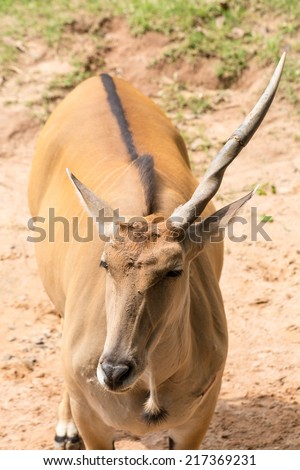 Brown one horn impala  close up - stock photo