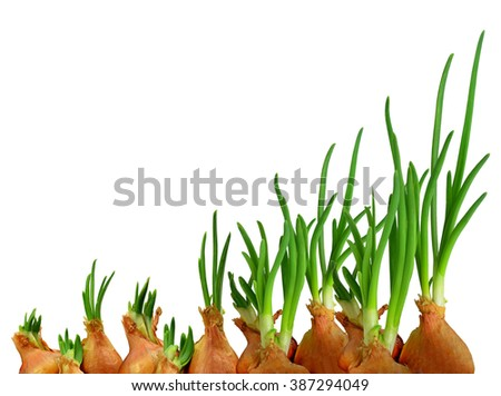Brown onions with green sprouts isolated on white background without shadows.Spring awakening. Everything is growing, everything is changing. - stock photo