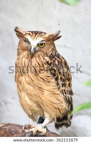 Brown owl bird tawny owl looking forward daytime  - stock photo