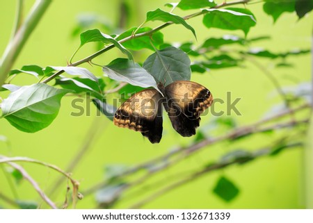 Brown Owl Butterfly - stock photo