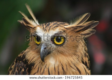 Brown OWL eyes pointed mouth and show the side  - stock photo