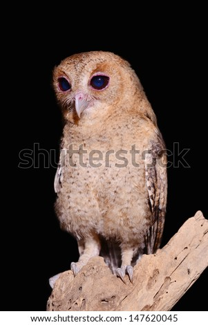 Brown Owl  isolated on Black - stock photo