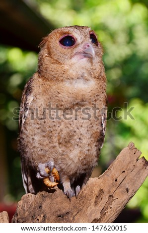 Brown Owl with the prey.  - stock photo