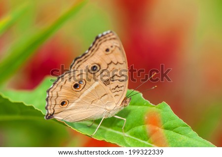 Brown Pansy Butterfly on Green Leaf Closed-up - stock photo