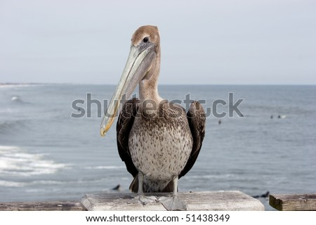 Brown pelican at a beach in Florida