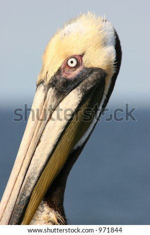 Brown Pelican Close-Up - stock photo