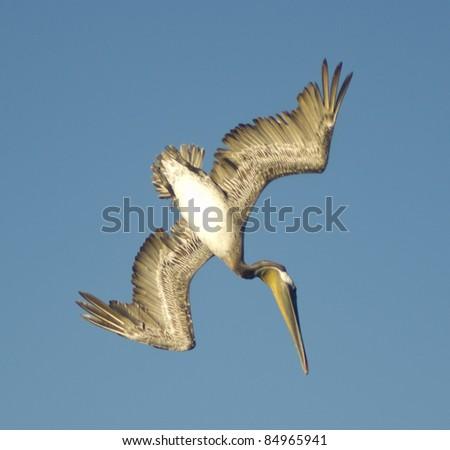 Brown Pelican Diving - stock photo