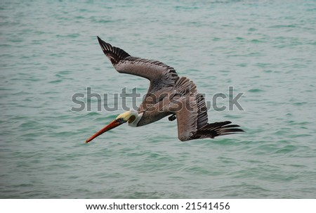 Brown pelican diving for a fish - stock photo