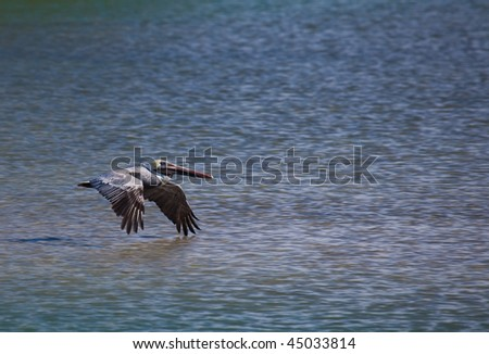Brown pelican flies over rippled water