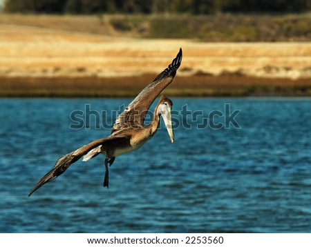 Brown Pelican flies over the Bolsa Chica Wetlands. - stock photo