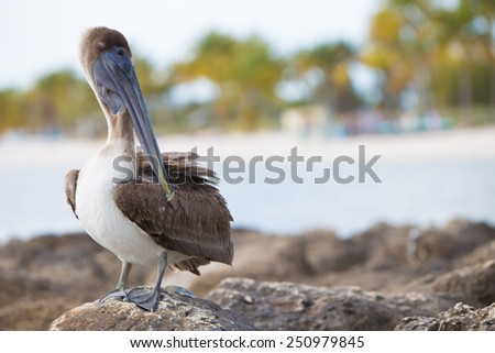 Brown Pelican, Florida Keys - stock photo