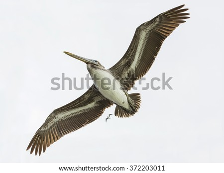 Brown Pelican flying against the gray sky. Closeup view bottom. - stock photo