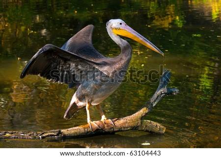 brown pelican in autumn scenery - stock photo