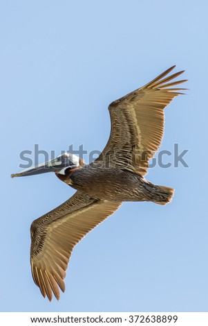 Brown Pelican in Flight - stock photo