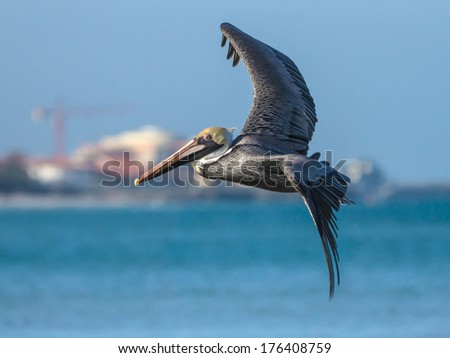 Brown Pelican in Flight in Varadero, Cuba - stock photo