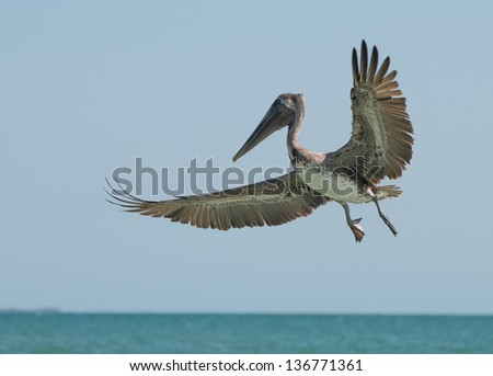 Brown pelican in flight over the shoreline of the Gulf of Mexico - stock photo