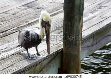 Brown pelican (in Winter plumage) watches for fish from a dock in Cortez, Florida. - stock photo