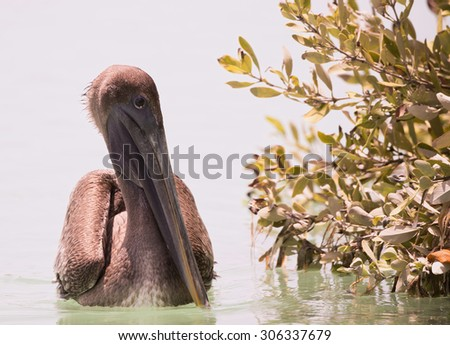 Brown Pelican on the Ocean with Mangroves - stock photo
