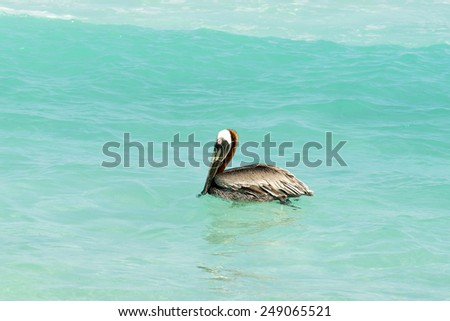 Brown Pelican on the water on a sunny day looking for fish to eat. Cancun, Mexico. - stock photo