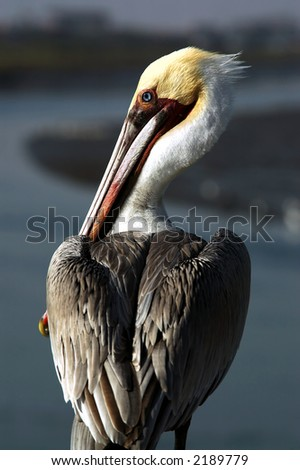 Brown Pelican - Pelecanus Occidentalis - stock photo