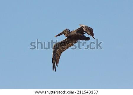 Brown Pelican, Pelecanus occidentalis, in flight - stock photo