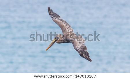 Brown pelican (Pelecanus occidentalis) in flight in Saint Martin, Caribbean - stock photo