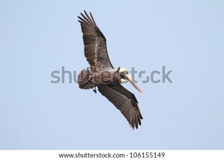 Brown Pelican (Pelecanus occidentalis) in flight over the Florida Everglades - stock photo