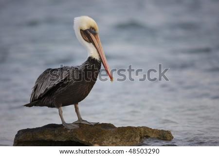 Brown Pelican (Pelecanus occidentalis occidentalis), in winter plumage resting on rock. - stock photo
