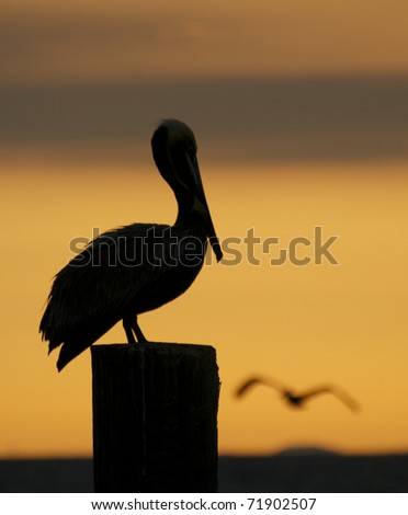 Brown Pelican, Pelecanus occidentalis, sitting on wooden piling at sunset or sunrise - stock photo