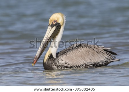 Brown Pelican (Pelecanus occidentalis) Swimming in the Gulf of Mexico - St. Petersburg, Florida - stock photo