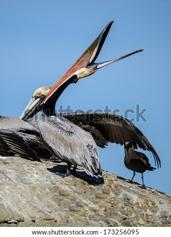 Brown Pelican Pointing - stock photo