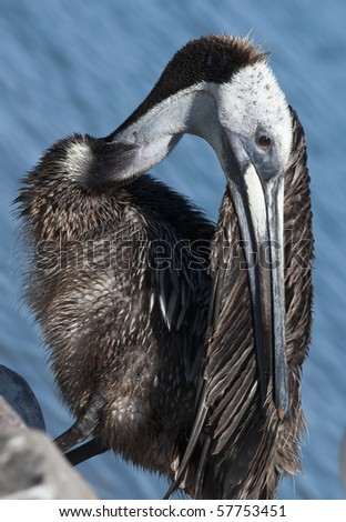 Brown Pelican preening after diving for fish - stock photo
