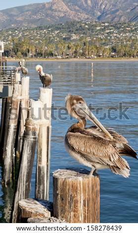 Brown pelican. Santa Barbara . California. USA - stock photo