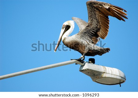 Brown Pelican Stretching Wings - stock photo