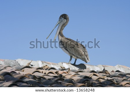 Brown pelican surveying the world from a roof top.