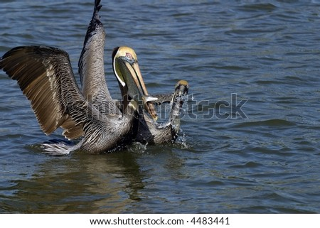 Brown Pelicans Fighting