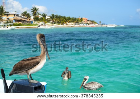 Brown pelicans in Caribbean sea next to the tropical paradise coast - stock photo