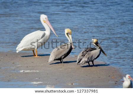 Brown Pelicans, Pelecanus occidentalis, and White Pelican, Pelicanus erythrorhynchos, rest on a sandbar at Sanibel Island, Florida. - stock photo