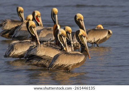brown pelicans (Pelecanus occidentalis) in shallow water at the ocean coast, Galveston, Texas, USA. - stock photo