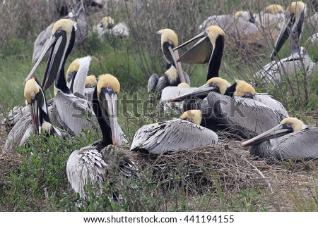 Brown Pelicans (Pelecanus occidentalis) nesting on isolated island in Cape Lookout National Seashore, North Carolina Outer Banks. - stock photo