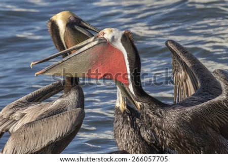 Brown pelicans (Pelecanus occidentalis), Pacific form with bright red sac, fighting, Galveston, Texas, USA. - stock photo