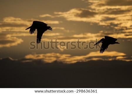 Brown Pelicans, Playa Gigante, Nicaragua - stock photo