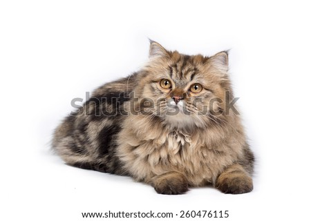 Brown Persian cat on white background