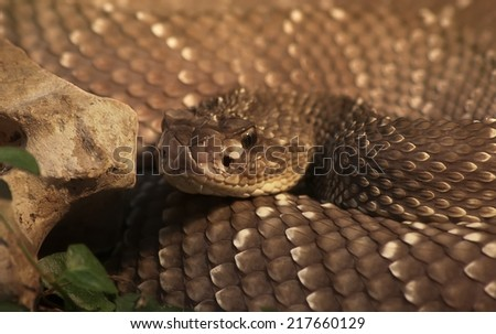 Brown Pit Viper - stock photo