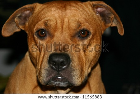 Brown pitbull staring at the camera