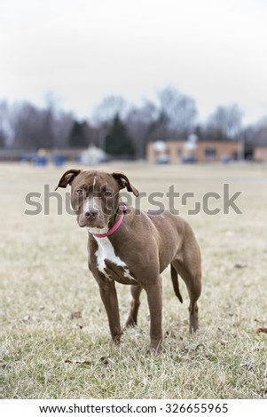 Brown pittbull standing while looking at the camera
