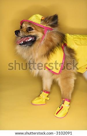 Brown Pomeranian dog wearing rain gear. - stock photo
