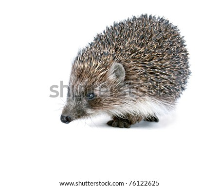 Brown prickly hedgehog on a white background, separately