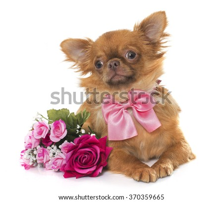 brown puppy chihuahua and flowers  in front of white background - stock photo
